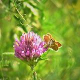 Thymelicus在三叶草开花的lineola蝴蝶 库存图片