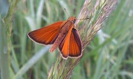 Thymelicus蝴蝶 库存图片