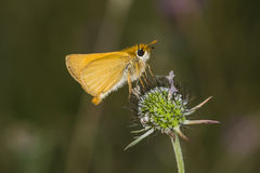 Thymelicus acteon, Lulworth从下萨克森州,德国的船长蝴蝶 图库摄影