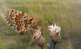 Fritillary butterfly. Melitaea trivia Butterfly sits on a thistle Royalty Free Stock Image