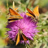 Thymelicus lineola. Three  butterflies on the thistle flower Stock Photo