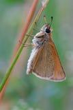 Thymelicus lineola Royaltyfria Bilder