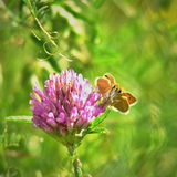 Thymelicus lineola butterfly on a clover blossom. Wildlife of middle Europe meadows, lakes and forests Stock Image
