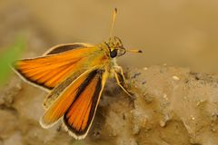 Thymelicus lineola - butterfly stock photos