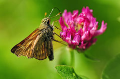 Thymelicus lineola on a clover stock images