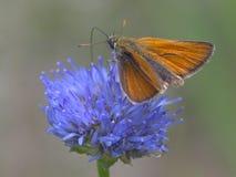 Thymelicus-lineola Klemme der Zahl lizenzfreies stockbild