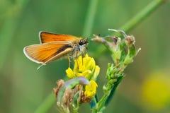 Thymelicus lineolason Adopaea lineola arkivfoto