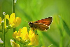 Thymelicus sylvestris butterfly on a yellow blossom. Wildlife of middle Europe meadows, lakes and forests Stock Photos