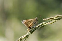 Thymelicus sylvestris Stock Image