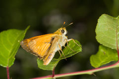 Thymelicus sylvestris / small skipper butterfly Stock Photos