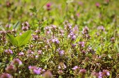 Thymian blüht im Frühjahr an einem hellen sonnigen Tag Medizinische Anlage Lizenzfreie Stockbilder