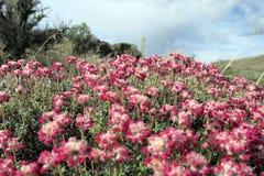 Thymian-Buchweizen-Blumen Stockfoto