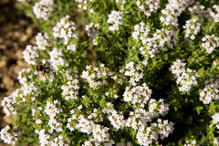 Thymian - thyme Royalty Free Stock Image