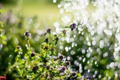 Thymiananlagen in der Wiese unter Regentropfen Lizenzfreies Stockbild