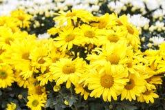 Thymophyllia, the beautiful little yellow flower Royalty Free Stock Photo