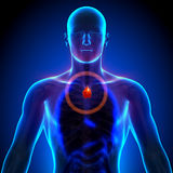 Thymus - anatomie masculine des organes humains - vue de rayon X Photo stock