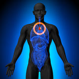 Thymus - anatomie masculine des organes humains - vue de rayon X Images stock