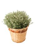 Thymus citriodorus Royalty Free Stock Images