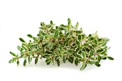 Thymus citriodorus Stock Image