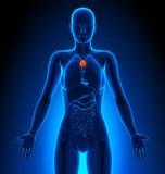 Thymus - Female Organs - Human Anatomy Royalty Free Stock Photography