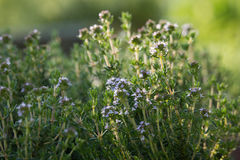 Thymus Flowers. In the Sunset Royalty Free Stock Image