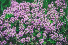 Thymus with flowers. Thymus , thyme - healing herb and condiment growing in nature, natural floral background stock photo