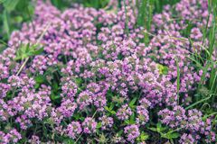 Thymus with flowers. Thymus , thyme - healing herb and condiment growing in nature, natural floral background royalty free stock photography
