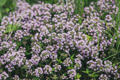 Thymus with flowers. Thymus , thyme - healing herb and condiment growing in nature, natural floral background stock image