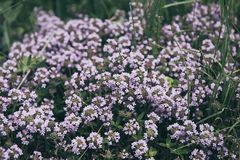 Thymus with flowers. Thymus , thyme - healing herb and condiment growing in nature, natural floral background stock images