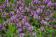 Thymus with flowers Stock Photos