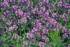 Thymus with flowers. Thymus , thyme - healing herb and condiment growing in nature, natural floral background Royalty Free Stock Images