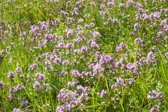 Thymus - healing herb Royalty Free Stock Image