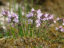 Thymus. In the photo is an aromatic flowering plant, Thymus. Photo was made in summer near river Isar Vorderriß, Bavaria, Germany stock images