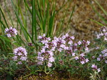 Thymus. In the photo is an aromatic flowering plant, Thymus. Photo was made in summer near river Isar Vorderriß, Bavaria, Germany Royalty Free Stock Photography