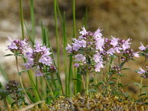 Thymus. In the photo is an aromatic flowering plant, Thymus. Photo was made in summer near river Isar Vorderriß, Bavaria, Germany Royalty Free Stock Photo