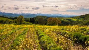 Thymus plantation. Landscape view of Appennino Settentrionale mountains from a thymus plantation at Sale San Giovanni royalty free stock photography