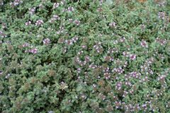 Thymus praecox with pink flower heads. Thymus praecox with small pink flower heads Royalty Free Stock Photography