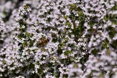 Thymus serpyllum in blossom. Thymus serpyllum aromatic plant in fool blossom with small light purple flowers Stock Photography