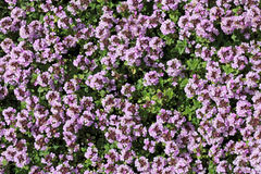 Thymus serpyllum Stock Image