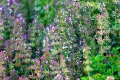 Thymus serpyllum in garden. Thymus serpyllum - healing herb and condiment growing in nature stock photography