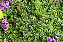 Thymus serpyllum, known as Breckland thyme Royalty Free Stock Photos