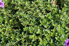 Thymus serpyllum, known as Breckland thyme. In garden Royalty Free Stock Photography