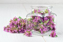 Thymus serpyllum, thyme, wild thyme. Thymus serpyllum herb in bottle.Thyme is a medicinal herb for dissolving and easier secretion of mucus.Alternative medicine royalty free stock photography