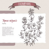 Thymus vulgaris aka Thyme vector hand drawn sketch. Royalty Free Stock Images