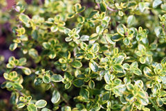 Thymus vulgaris (common thyme, garden thyme). In garden Royalty Free Stock Photography