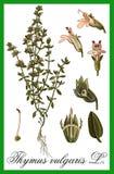 Thymus vulgaris - L. herbal Stock Photo