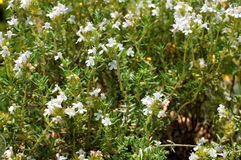 Thymus Vulgaris L - Thyme. Herbs - Close up of a Thyme plant with flowers. Thymus Vulgaris L Royalty Free Stock Photo