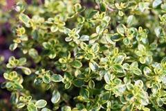 Thymus vulgaris (pospolita macierzanka, ogrodowa macierzanka,) Fotografia Royalty Free