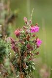 Thymus vulgaris 'Silver Posie'. Close up of Thymus vulgaris 'Silver Posie' thyme Stock Photo