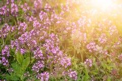 Thymus z kwiatami fotografia stock